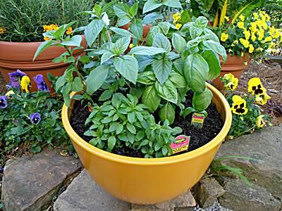 como sembrar albahaca en maceta