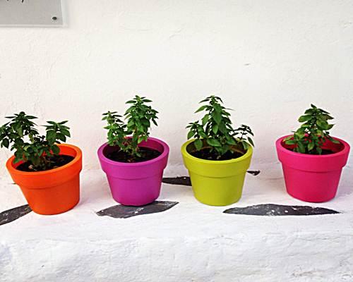 como cultivar albahaca en maceta
