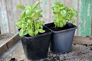 como plantar albahaca en maceta