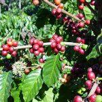 Cómo se siembrael café