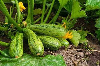 como plantar calabacines