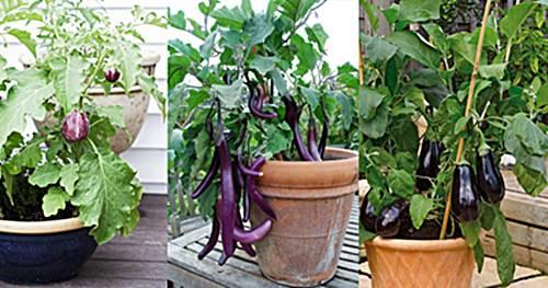 como cultivar berenjenas en el huerto