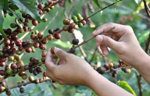 Cómo sembrar café en casa