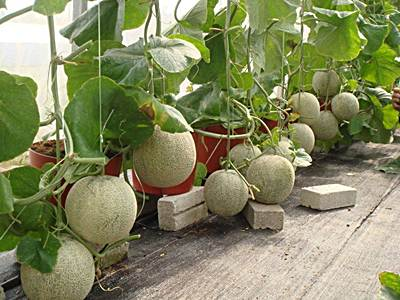 Cómo cultivar melón