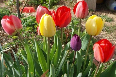 como se cultivan los tulipanes
