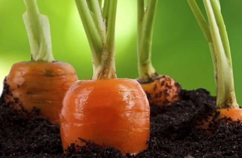 como cuidar zanahorias