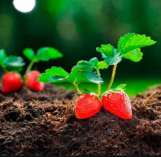 cultivar fresas en casa