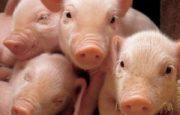 como criar cerdos en casa