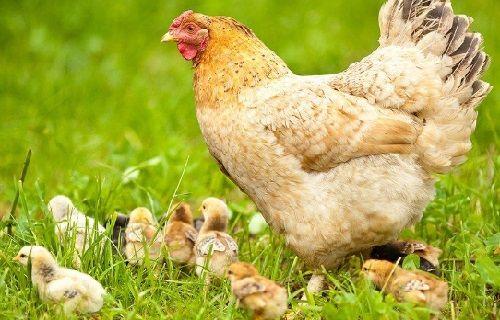 crianza de gallinas de pavos