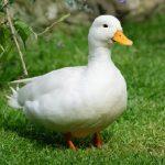 como educar un pato