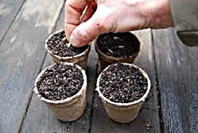 como plantar semillas de girasol