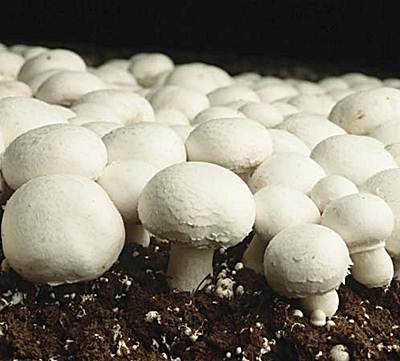 como cultivar champiñones en casa paso a paso