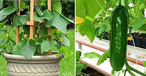 Cuidados de la planta de pepino