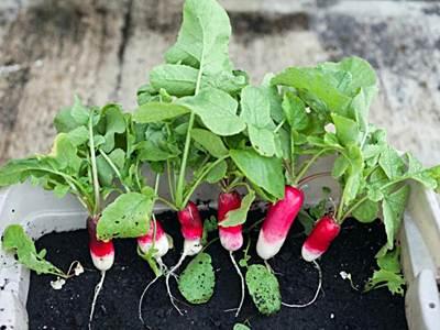 como sembrar rabanos en casa
