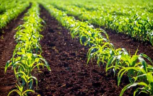 Cómo sembrar maíz