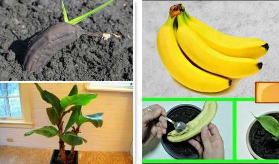 como sembrar platanos