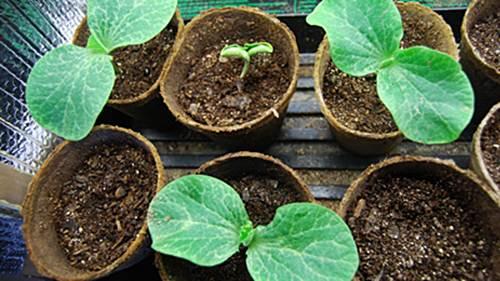 Como cultivar calabazas