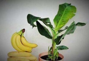 Cómo sembrar plátano en casa