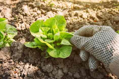 como sembrar platano en maceta