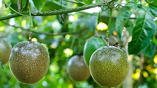 como cultivar granadilla en maceta