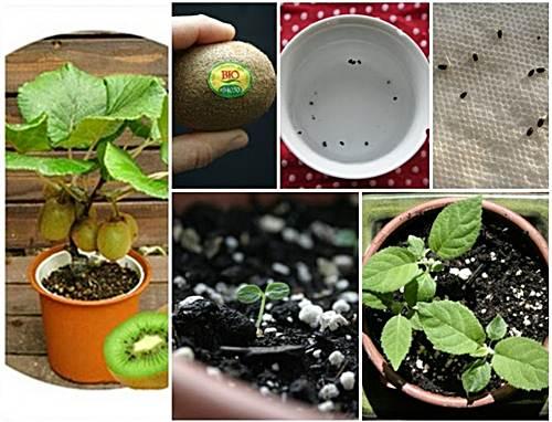 como cultivar kiwis