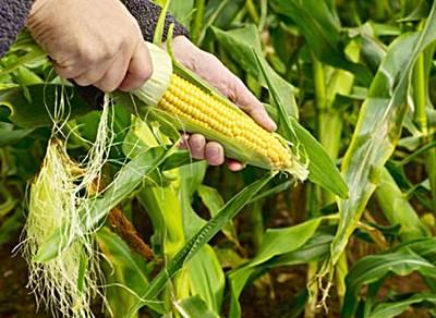 como cultivar maiz