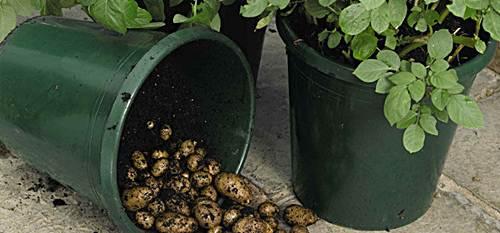 Como sembrar papas brotadas