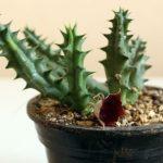 como cultivar un cactus