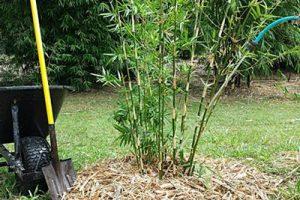 Cómo plantar, cuidar y cultivar el bambú