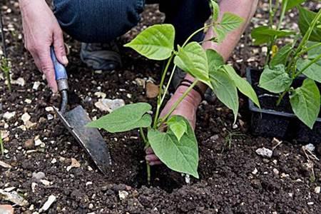 como sembrar frijoles en casa