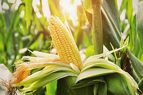como sembrar maiz a mano