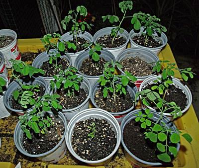 abono y fertilización de la moringa