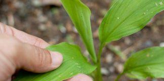 como se cultiva el jengibre