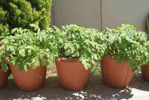 como sembrar papas en macetas
