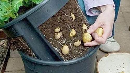 Como cultivar papas
