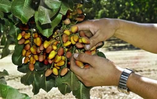 Cómo sembrar pistachos