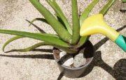 Cómo plantar Aloe Vera