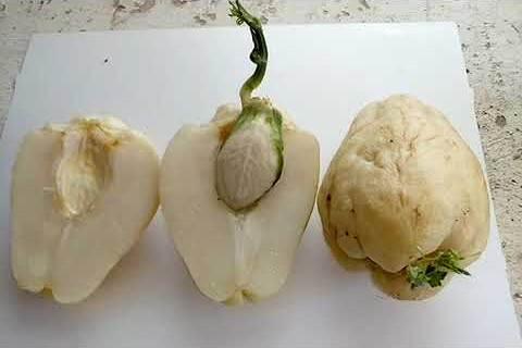 cómo plantar chayote brotado germinado