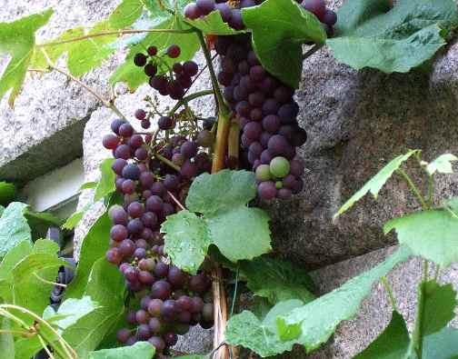 como sembrar uvas en casa