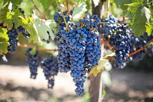 como sembrar uvas sin semilla