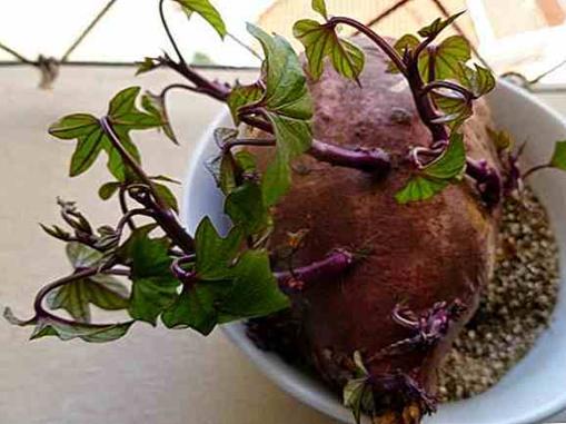 como sembrar batata en maceta