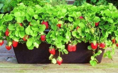macetas para frutillas