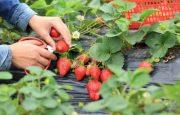 Como plantar frutillas