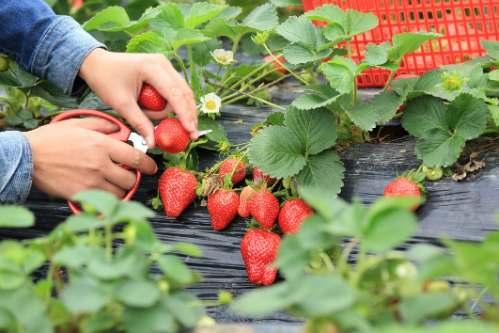 como sembrar frutillas