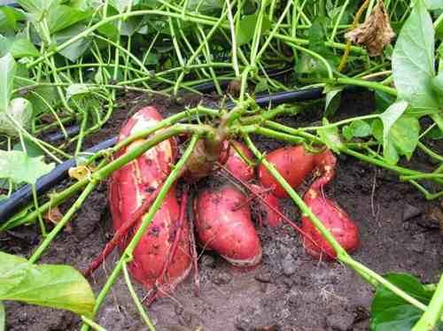 como sembrar batata sin semilla