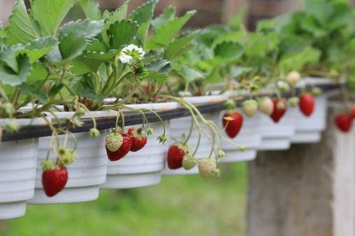 Condiciones para plantar frutilla