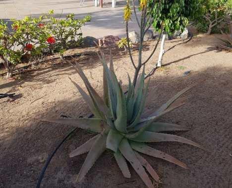 Cómo plantar Aloe Vera en casa