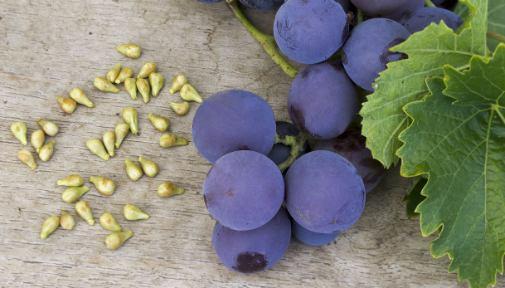 sembrar uvas por esquejes