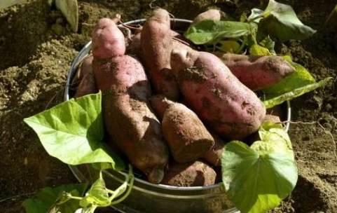 como sembrar batata dulce
