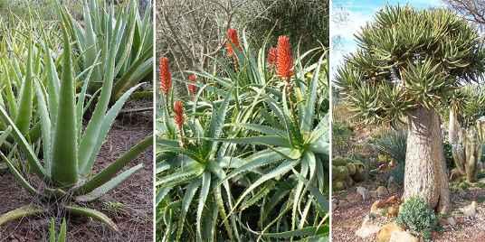 Cómo plantar Aloe Vera sin raices